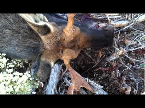 Moose Hunting 2011 FAILS GONE WRONG!!!! LOL
