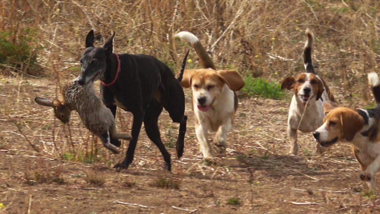 Cacería de Conejos 🐇 Con Perros Beagles | Temporada 2020
