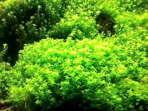 Hemianthus Micranthemoides Aquarium Plants Youtube
