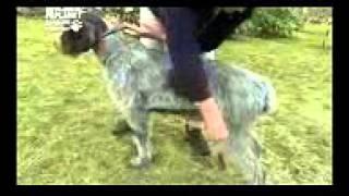 Дратхаар (немецкая жесткошёрстная легавая), все породы собак, 101 dogs. Введение в собаковедение.