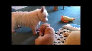 9 Week Old Golden Retriever Playing With Westie