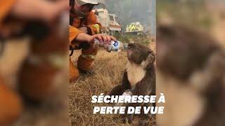 Ces pompiers ont désaltéré un Koala assoiffé au milieu des feux en Australie