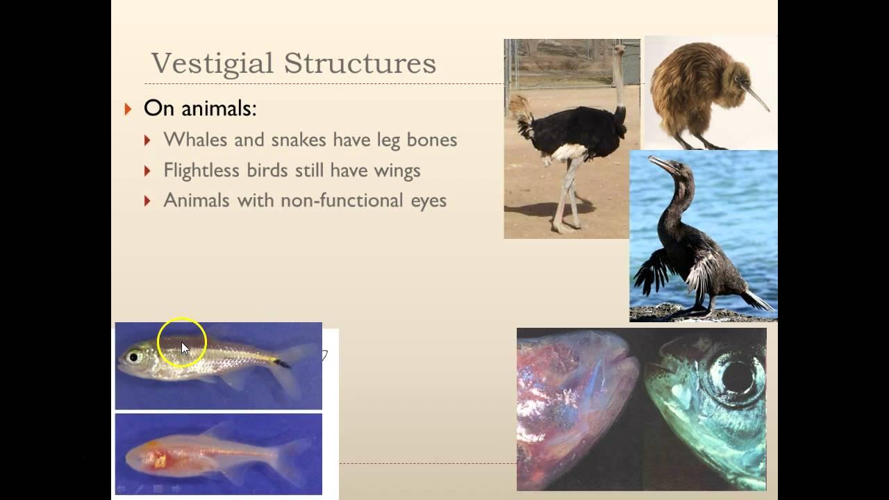 target b2 2 vestigial homologous analogous structures youtube