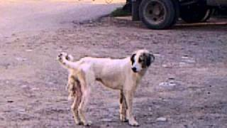 Собака с двумя хвостами