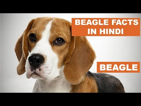 Beagle Dog Facts In Hindi | Dog Facts | Popular Dogs | The Ultimate Channel