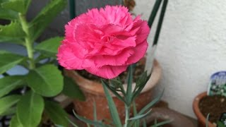 実は、2015年の母の日に娘から亡き妻に贈り物が・・・ それはピンクの「...