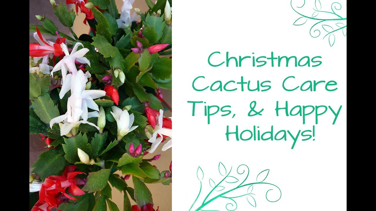 christmas cactus care tips happy holidays youtube