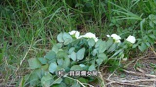 懸疑!白玫瑰伴女屍? 10.31預告