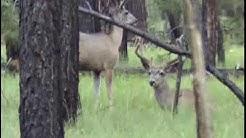 White Mountain Wildlife, Arizona - Antelope, Turkey, Elk, Deer
