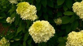 How to Grow Lime Light Hydrangeas | P. Allen Smith Classics