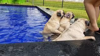 Pug porn at pool 🤣🤣🤣 at Pet Kingdom alsut