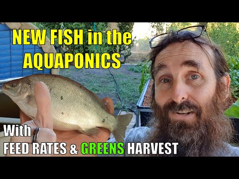 Aquaponics System | NEW FISH, Feed Rates & MORE 🐟🌱🌱