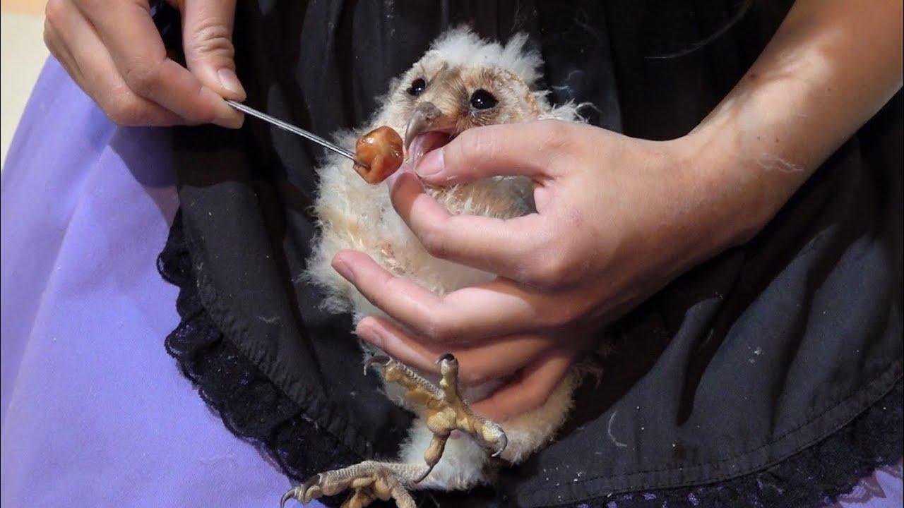 ママに抱っこされながらご飯を食べるフクロウの赤ちゃん