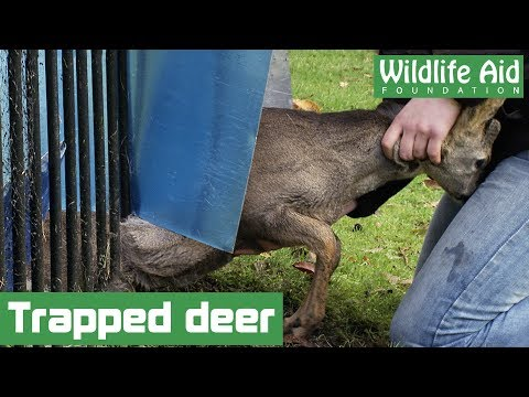 Wildlife rescuer saves trapped deer!