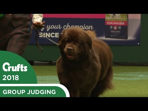 Working Group Judging | Crufts 2018