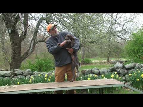 Foundation Puppy Training with Mike O'Donnel Part 2 of 3.