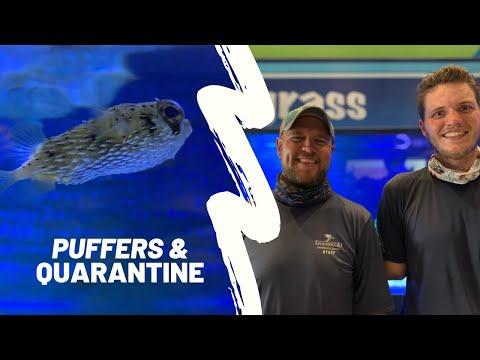 Puffers & Quarantine: Acclimating A Porcupine Pufferfish