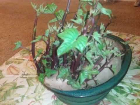 Sweet Potato Bonsai Youtube