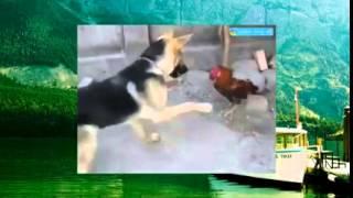 Забавное видео с животными   Курица и собака