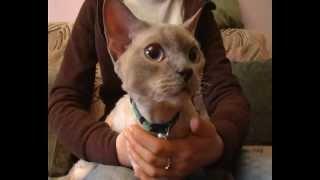Порода кошек девон рекс