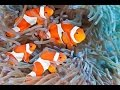 6 clown fish in one aquarium : rotter tube reef