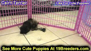 Cairn Terrier, Puppies, For, Sale, In, Columbia, Maryland, Md, Perry Hall, Pikesville, College Park,