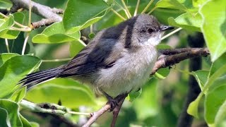 Lesser Whitethroat - Klappergrasmücke - Sylvia curruca calling