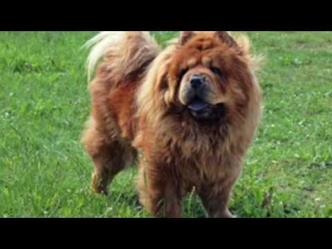 Chow Chow Information