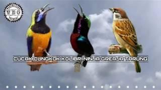 Masteran Best Kompilasi !!! Suara burung Cucak cungkok - Kolibri Ninja - Gereja tarung