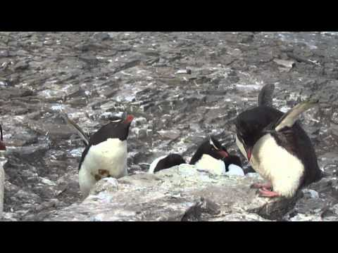 Rockhopper Penguins Fighting - Bleaker Island