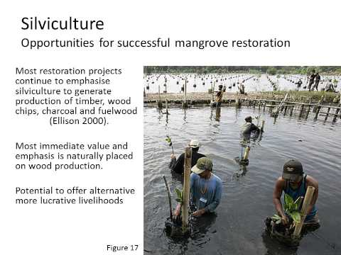 Silviculture a changing world Future of Mangroves Virginie Lambertucci