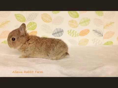 ลูกกระต่ายแคระสีเชสนัทเกรดเลี้ยงเล่น