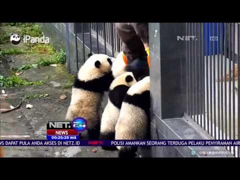 Lucunya 4 Anak Panda yang Saling Berebut Masuk Pintu Kandang - NET24