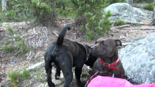 Two Staffordshire Bullterrier In Love.mp4