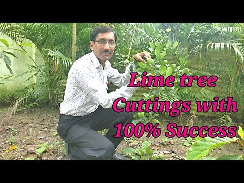 How to take Lime / Lemon tree Cuttings with 100 % Success.