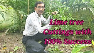 How to take Lime / Lemon tree Cuttings with 100 % Success. thumbnail