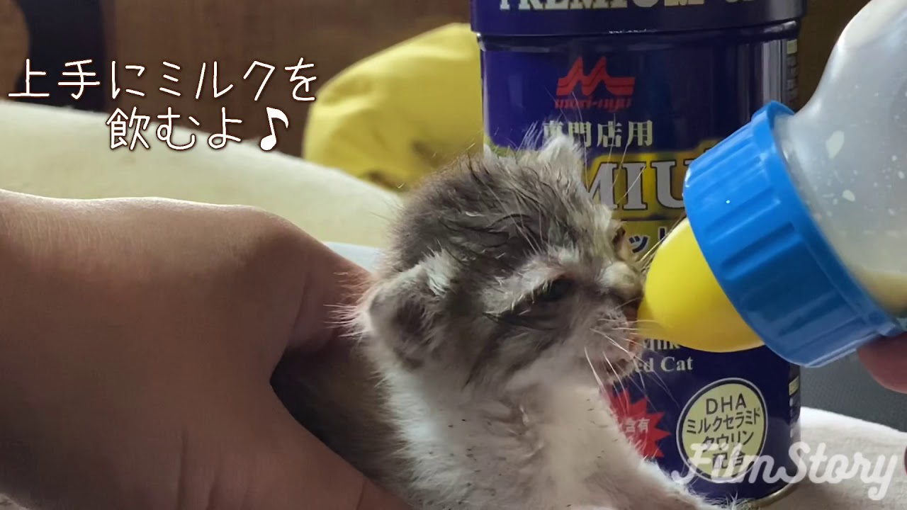 【保護猫むいちゃん】生後2週間ほどの子猫 ごくごくミルクを飲んで大きくなろうね!(いるまん保護動物シェルター)