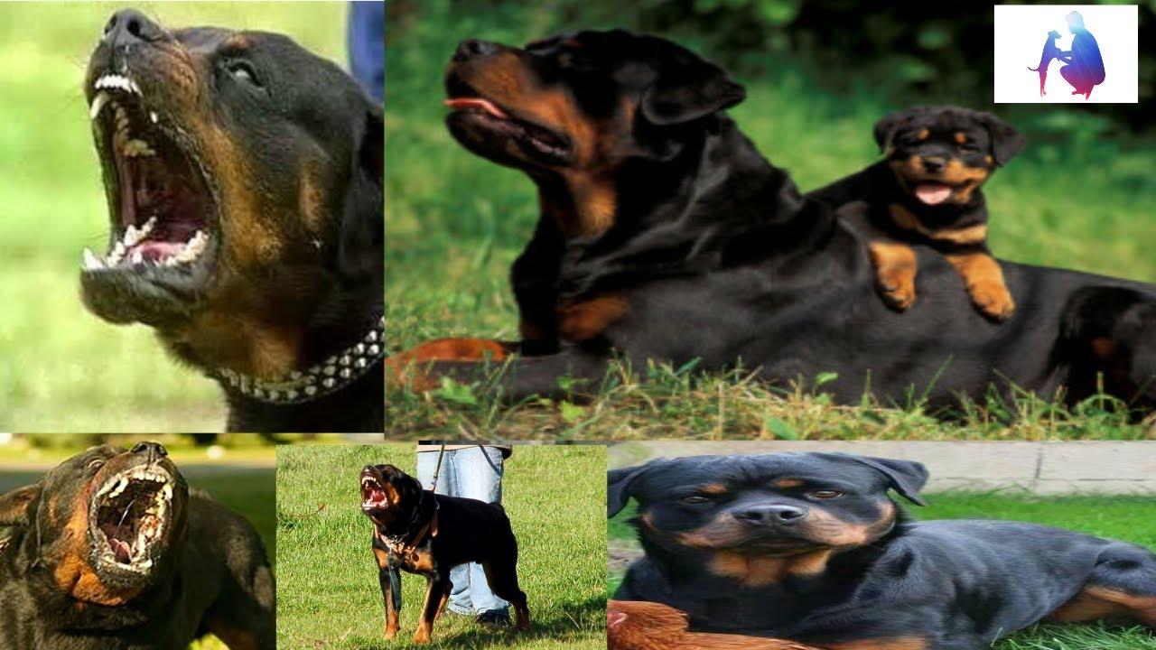 Rottweiler Dog Training Tips In Hindi