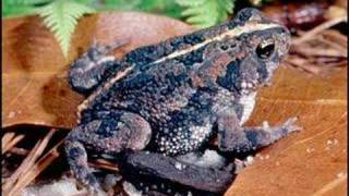 Bufo quercicus - Oak Toad