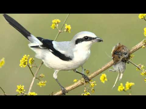 Tiny vicious killer of the bird world - Shrike impales its victims on a spike