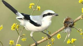 Video Tiny vicious killer of the bird world - Shrike impales its victims on a spike download MP3, 3GP, MP4, WEBM, AVI, FLV September 2018