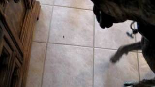 Stink bug vs. Great Dane