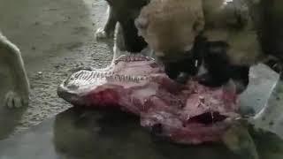 Натуральное питание щенков Тобета САО