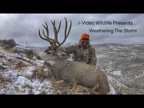 """Giant Colorado Mule Deer - """"Weathering The Storm""""!"""