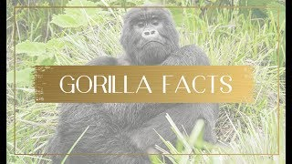 Fun and interesting facts about gorillas you may not know