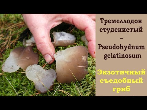 Ледяной гриб -  Тремеллодон студенистый – Pseudohydnum gelatinosum