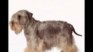 Cesky Terrier  ~ Puppies for Sale, by Pets4You.com