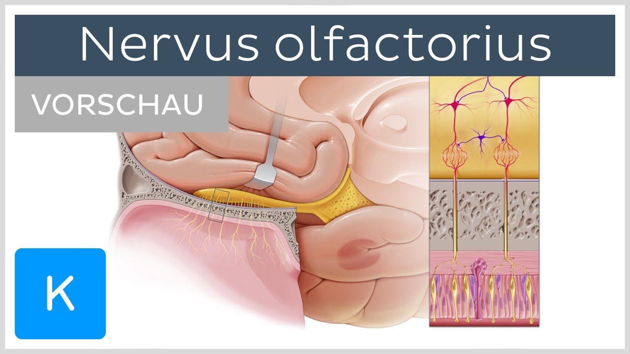 Nervus olfactorius (Vorschau) - Anatomie des Menschen  Kenhub