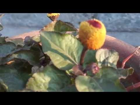 Akarkara (Seeds, Flower & Roots Available) - videoslight com