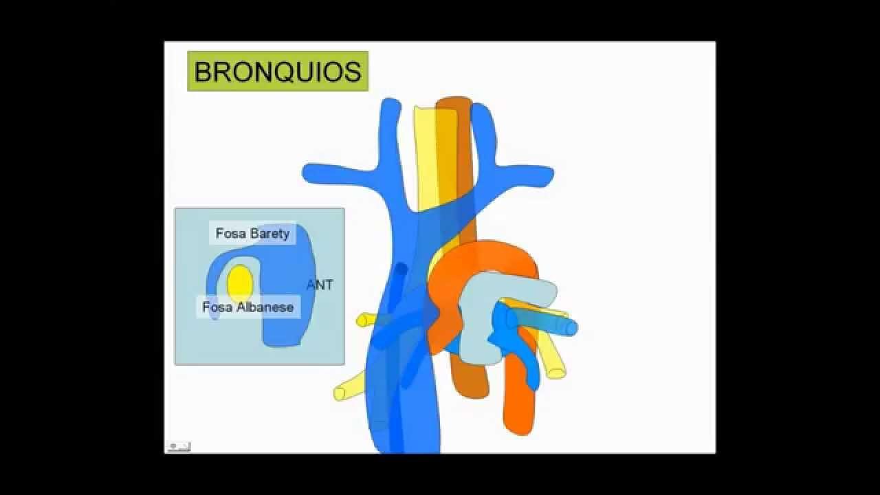 Aparato respiratorio COMPLETO - Dr. Leonardo Coscarelli. - YouTube